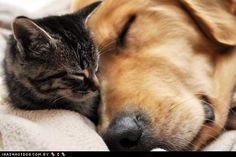 grey tabby and golden retriever sleepin
