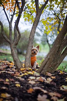 * *DOG CONTINUOUSLY OVER-ESTIMATES HIS  ' HIDING' PLACE. WITH AN ORANGE SWEATER YET.