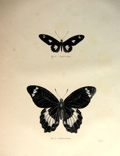 1860 Antique butterflies print vintage by LyraNebulaPrints on Etsy