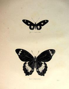 1860 antichi farfalle stampare, farfalla originale depoca incisione, papillon lepidotteri piastra illustrazione, storia naturale di insetti.