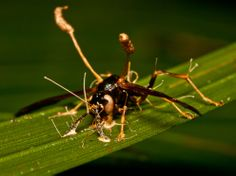 """The cordyceps fungus—commonly known as the """"caterpillar fungus""""—is seen here parasitizing a small insect. There are over 400 species within the cordyceps genus, almost all of which survive by parasitizing other small organisms"""