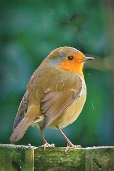 Robin, January 2017 by Gerard Callaghan / 500px