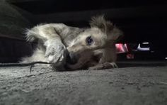 In this video, the Hope for Paws team is called in to help a homeless Golden Retriever, Clarabelle, who was living in an industrial park. The people who called for help had been feeding Clarabelle, but it was clear that she needed much more than just the occasional meal.