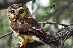 The Northern Saw-whet Owl is a very small owl with no ear tufts. The Latinised word acadius refers to Acadia, now Nova Scotia, where European explorers first discovered this owl. Beautiful Owl, Animals Beautiful, Beautiful Things, Owl Calls, Owl Species, Saw Whet Owl, Long Eared Owl, Small Owl, Screech Owl