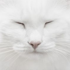 Chat blanc endormi