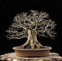 This is a list of common Bonsai tree species available on other listings: Hornbeam, Carpinus,Beech, Fagus, Elm, Ulmus, Oak, Quercus, Ive, Hedera, Maple, Acer, Spruce, Picea, Larch, Larix, Pine, Pinus, Horse Chestnut, Aesculus, Ash, Fraxinus, Willow, Salix, Birch, Betula, Silver fir, Abies, Rowan, Sorbus,