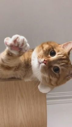 Funny Cute Cats, Cute Baby Cats, Cute Cat Gif, Cute Little Animals, Cute Cats And Kittens, Cute Funny Animals, Kittens Cutest, Fluffy Kittens, American Shorthair