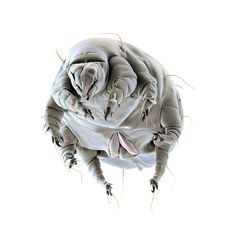 Dr. Oeggerli's Beautiful Little Monsters: Picture of a Schwiebea mite