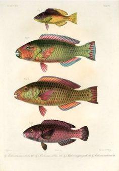 SCAROIDEI - Pseudoscarus macrocheilus, calibricus, gymnognathos - PARROTFISH print Rare Fish, Oriental, Fish Print, Pacific Ocean, Portrait, Prints For Sale, Antiques, Drawings, Animals