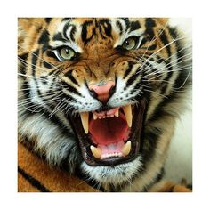 Teen Girl Sleeps With Pet Tiger Sweet or Really Stupid? ❤ liked on Polyvore