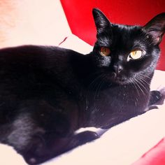 Bombay cat Salem