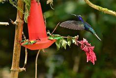 Violet Sabrewing Hummingbird in Costa Rica. Karen Straus