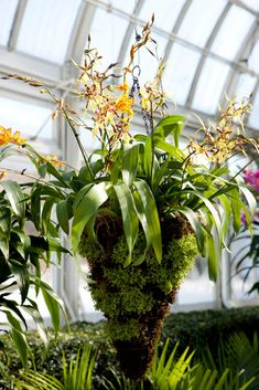 Orchid chandeliers container plants tropical flowers and plants orchid chandeliers orchid showthe mozeypictures Gallery