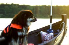 The Naamisuvanto Salmon Fishing Resort's dog Mosku is a reindeer dog that loves salmon fishing in Lapland.