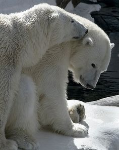 Polar Bear Art Nature photography Arctic animal by Penumbra Images on etsy 25.00