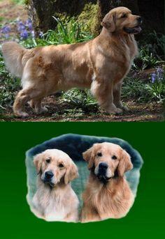 Shyan Goldens~ Golden Retriever Breeder Oregon ~ Golden Retriever Puppies