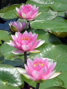 Lotus Flower Art, White Lotus Flower, Flower Wall, Exotic Flowers, Pink Flowers, Beautiful Flowers, Monet Water Lilies, Water Flowers, Blue Roses Wallpaper