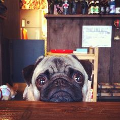 Eternal pug sadness...