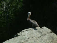 locally called a Booby, you can find dozens of pelicans around our shores.  Also the National Bird of St Kitts & Nevis