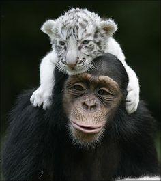Baby white tiger and chimpanzee; so cute! Baby White Tiger, White Tiger Cubs, White Tigers, Cute Baby Animals, Animals And Pets, Funny Animals, Funny Pets, Wild Animals, Amor Animal