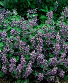 Catmint – How to Grow & Care for Nepeta - Garden Design River Rock Landscaping, Backyard Landscaping, Landscaping Ideas, Flowers Perennials, Planting Flowers, Flower Plants, Flower Garden Plans, Garden Ideas, Garden Tips