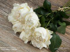 Meilland Jardin & Parfum rose Yves Piaget Cream