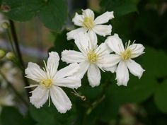 Clematis 'Summer Snow' / 'Paul Farges' - Clematis fargesioides 'Summer Snow' / 'Paul Farges'