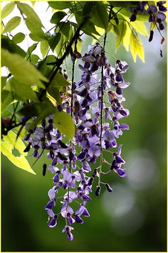 fotofreddy: Own picture: A last Wisteria in back-light