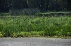 Cattails along Housatonic River in A Garden For All by Kathy Diemer http://agardenforall.com