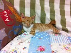 チャトラ猫の仔猫 茶太郎