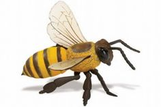 """Honeybee Size: 6"""" L x 2.5"""" H (15.5 x 6.35 cm). True-to-life vinyl replicas of some of the most amazing creatures in the world. Excellent learning tool to introduce young children to our delicate and often endangered inhabitants of our planet. A fun way to spark the innate curiosity of a child. Each replica is finely hand painted and accurate down to the last detail. Educational information in five languages is included with each replica."""