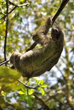 Enjoying the sunshine #aww #Cutesloths #sloths #boopthesnoot #cuddle #fluffy #animals #aww #socute #puppy #bestfriend #itssofluffy