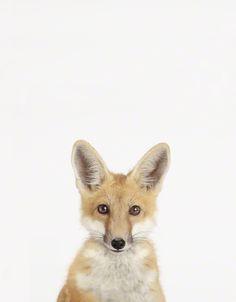 Why does this fox look like it has so much personality? I want one.