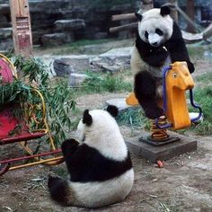 A pair of giant pandas play in their enclosure at the Beijing Zoo. Always a favorite, a rocking-panda. Panda Love, Cute Panda, Panda Panda, Red Panda, Baby Animals, Funny Animals, Cute Animals, Unique Animals, Pandas Playing
