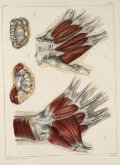 Muscles and tendons of the hand.