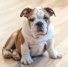 One of cutest little English bulldog pups  in Austin ever...meet Monty at 3 months or so...he is so ridiculously sweet.  On a human these wrinkles, fattiness, snoring, drooling would not be quite as sweet..