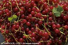 pattern of red ripe currants with stemr