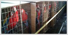Un grupo de 27 ejemplares de guacamaya roja (Ara macao) provenientes de Xcaret formarán parte de un ambicioso programa de liberación en la selva chiapaneca, donde ésta especie se encuentra prácticamente extinta.