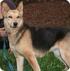 carolina dog german shepherd mix