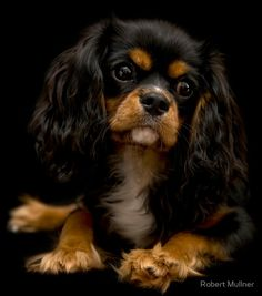 Our Sophie makes for such a nice model. She's our darling 6 months old Cavalier King Charles Spaniel.. • Buy this artwork on apparel, home decor, stationery, and more.