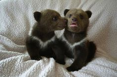 Meet Lewis and Clark. They're twin Siberian bear cubs, who were rejected by their mom, and they're the cutest.