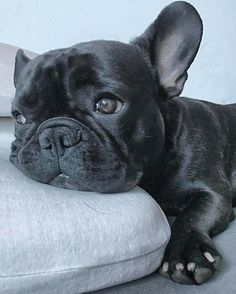 The major breeds of bulldogs are English bulldog, American bulldog, and French bulldog. The bulldog has a broad shoulder which matches with the head. The skin o French Bulldog Full Grown, Cute French Bulldog, French Bulldog Puppies, Black French Bulldogs, English Bulldogs, Cute Puppies, Cute Dogs, Dogs And Puppies, Doggies
