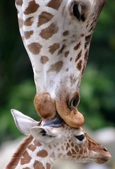 Giraffe kisses her baby - 19 Lovely Cute Animals Cute Baby Animals, Animals And Pets, Funny Animals, Wild Animals, Animals With Their Babies, Animals Kissing, Smiling Animals, Animals Photos, Beautiful Creatures
