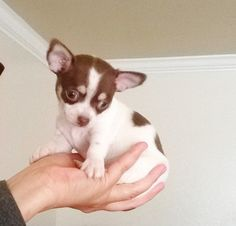 Tea-Cup Chihuahia Puppy Apple Head-True tiny
