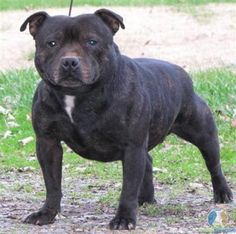 Staffordshire Bull Terrier. The funny part is this a mix of my two dogs I have now. Hector the pitbull and Chela the staffordshire.. I love it