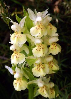 Dactylorhiza sambucina - Orchidaceae