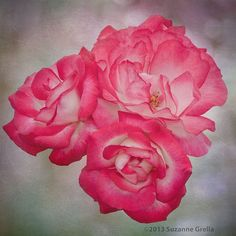 3 Roses by Suzanne Grella on 500px
