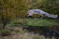 Squirrel with a Conker by Thomas Hanahoe. Grey squirrel (Sciurus carolinensis) Potton, Bedfordshire, England.