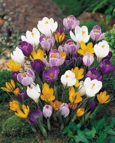 Crocuses-planting these this fall to have for next year. They are so pretty!