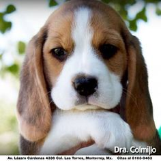 Are you interested in a Beagle? Well, the Beagle is one of the few popular dogs that will adapt much faster to any home. Whether you have a large family, p Cute Baby Animals, Animals And Pets, Funny Animals, Funny Dogs, Farts Funny, Cute Animals Puppies, Animals Planet, Funny Kittens, Animals Photos